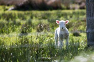 When Lambs Stray